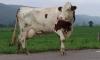 К идущей по КАДу корове присоединились сотрудники ГИБДД