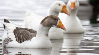 На окраине Петербурга в объектив фотографа попала стая синеглазых гусей
