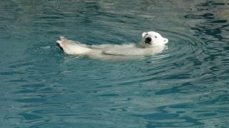 В Петербурге обсудят судьбу белого медведя в условиях аномально теплой зимы