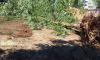 На проспекте Культуры избавились от 20 деревьев
