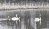 Озеро на выезде из Выборга впервые посетили лебеди