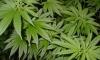 В Петродворце нашли плантацию марихуаны
