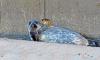В Петербурге два тюлененка вернутся в свою среду обитания