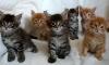 В Петербурге грабители отняли котенка за 55 тысяч
