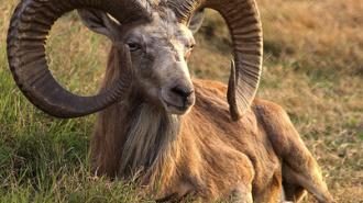 Суд оправдал обвиняемых в незаконной охоте на алтайского горного барана