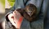 Жители Петербурга переживают за спасенного от ворон осоеда