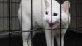 Эрмитажный кот Ахилл предсказал обладателя Кубка конфеде...