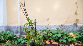В Кронштадт из питомника вернули 100-летнюю лозу для украшения стен офицерских флигелей