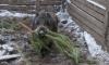 Петербуржцы могут сдать старые елки в реабилитационный центр для диких животных