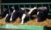 Брошенные животные в Фукусиме пожирают друг друга