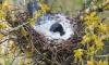 Материнский инстинкт: петербуржцы заметили ворону, укрывающую гнездо от непогоды