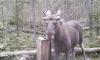 Лоси и медведи в лесах Тихвинского района попали в объективы фотоловушек