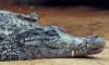Крокодил погиб под колесами грузовика в Подмосковье