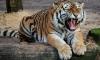 В Барнауле могут убить тигра из зоопарка, который напал на пьяную школьницу