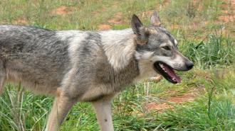 В Подмосковье волчица с бешенством напала на двух женщин