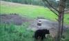 Медведь напугал грибников в лесном массиве в Коробицыно