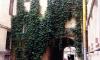 Петербургские коммунальщики вырубилиредкую виноградную лозу в центре города