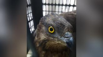 Жители Приморского района спасли краснокнижного осоеда от ворон