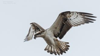 Фотограф из Петербурга поделился снимками огромной хищной птицы