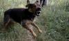 Под Новосибирском сторожевой пес насмерть загрыз 4-летнего мальчика