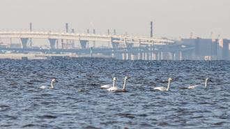 На Финском заливе остановились 11 тундровых лебедей