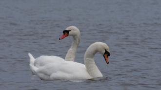 Блогер  Павел Глазков рассказал, где петербуржцы могут встретить лебедей