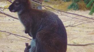 В зоопарке Петербурга прибавления: три кенгуренка появились на свет