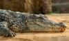 Гигантский крокодил-людоед разорвал российского дайвера в Индонезии