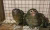 В Ленинградский зоопарк привезли карликовых игрунков