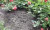 Неизвестные вандалы воруют розы в Монрепо