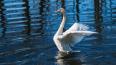 """К """"Ночи музеев"""" в Летний сад вернут лебедей"""