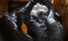 В Северной столице спасают лебедей, провалившихся в мазут