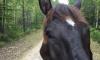 Хозяин не может вернуть свою лошадь из Вепсского леса