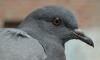 Смольный не хочет отстреливать голубей и просит горожан просто не кормить их