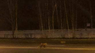 На Мебельной улице горожане заметили лису