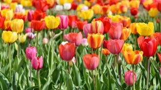 Ко Дню рождения Петербург нарядится 300 тысячами распустившихся тюльпанов