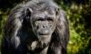 Франция: Шимпанзе откусил руку смотрителю на глазах у посетителей зоопарка