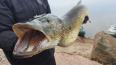 Под Выборгом рыбаки поймали щуку-гиганта весом 11,5 кг