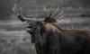Skoda врезалась в труп лося в Кузбассе: пострадали два человека