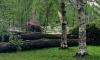 Более 350 деревьев повалил ураган за последние трое суток в Петербурге