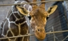 Директор зоопарка в Копенгагене ответит за убийство жирафа