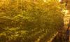 В Волховском районе мужчина выращивал коноплю
