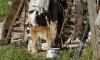 На садовом участке в Тихвине заметили рысь