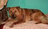 В Ленобласти спасли истекающего кровью пса, жестоко раненого живодерами
