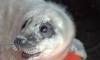 Появились фото милого тюлененка, которого спасли от верной смерти в Систо-Палкине