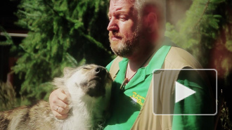 В Ленинградском зоопарке волк подружился с человеком