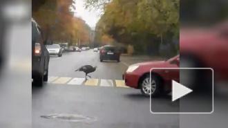 ПоПушкинуиндюк гуляет по правилам дорожного движения