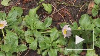 Из-за аномальной погоды в Петербурге распустились цветы