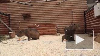 В Ленинградском зоопарке родился детеныш капибары