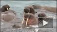Россияне в Арктике сыграли на гармошке вальс для моржей ...